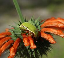 Green Beetle on Orange Flower by rhamm