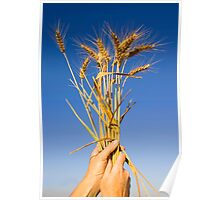 Ripe wheat stalks on a blue sky background  Poster