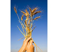 Ripe wheat stalks on a blue sky background  Photographic Print