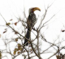 African Hornbill by Deidre Cripwell