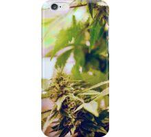 Skunk marijuana plants (Cannabis sativa) being grown in pots iPhone Case/Skin