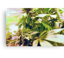 Skunk marijuana plants (Cannabis sativa) being grown in pots Canvas Print