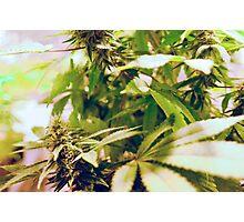 Skunk marijuana plants (Cannabis sativa) being grown in pots Photographic Print