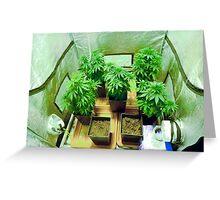 Home Grown Cannabis plants.  Greeting Card