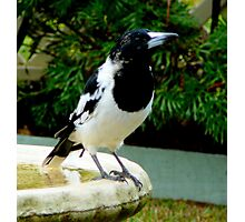 BUTCHER BIRD.... KING OF ALL WHISTLERS... Photographic Print