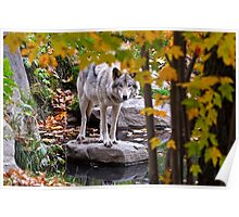 Timber Wolf by Pond Poster