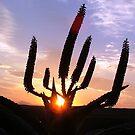 Aloe Aurora by Chris Coetzee