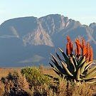 Aloe Ferox by Chris Coetzee