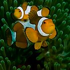 Western Clown Anemonefish by vinny turner