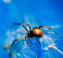 Redback spider by caradione
