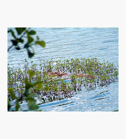 Grebe Photographic Print