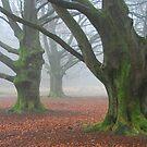 Misty old beech-trees by jchanders