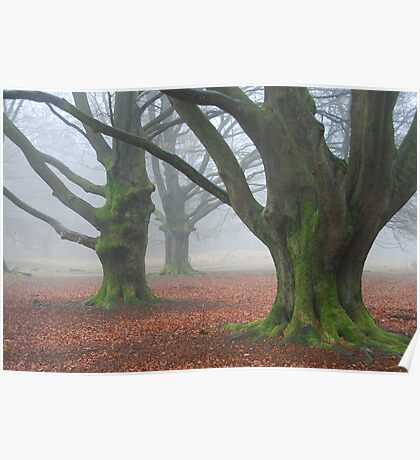 Misty old beech-trees Poster