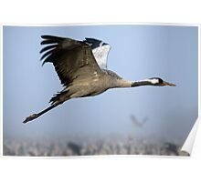 Common crane (Grus grus) also known as the Eurasian Crane Poster