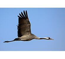 Common crane (Grus grus) also known as the Eurasian Crane Photographic Print