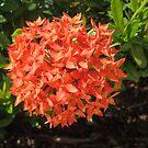 Orange Ixora Flower by dww25921