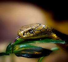 King Cobra by Cheri  McEachin