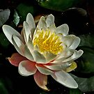 Water Lilly by David DeWitt