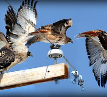 Red-tailed Hawk - Flight Sequence by Ryan Houston