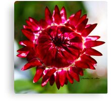 Floating Strawflower Canvas Print