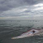 Dolphin eye by Stewart Macdonald