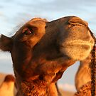 Proud Mongolian Camel by AimeeT