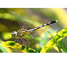 Dragon Fly doing Acrobatic Action Photographic Print