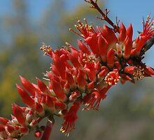 6722 fouquieria splendens 'Ocotillo' by Joanne Mantz