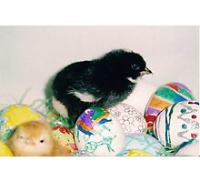black chick with eggs Photographic Print