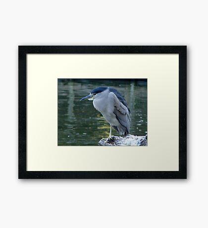 Night Heron Framed Print