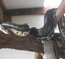 carpet python  by Beverley Ferguson