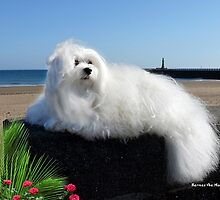 Snowdrop the Maltese - Beside the Seaside by Morag Bates