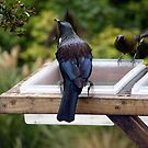 Tui and Bell Bird by Duncan Drummond