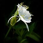 Spider Lily by Widcat