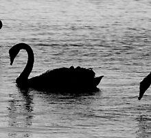 Swans by palmerphoto