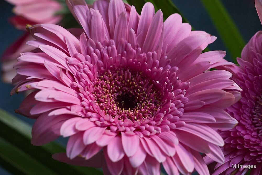 Pink Gerbas by MiImages