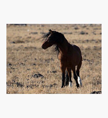 Stallion on Alert Photographic Print