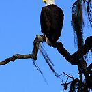 Bald Eagle & Spanish Moss, Alisal Ranch by A.M. Ruttle
