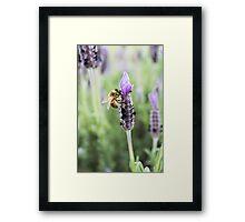 Lavender Honey Framed Print