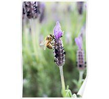 Lavender Honey Poster