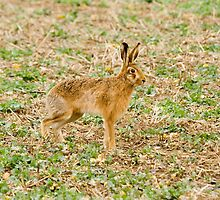 brown hare by Ken McKillop