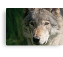 Timberwolf - Acrylic painting treatment in PS3 Metal Print