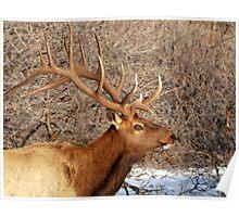 Bull Elk - 9x7 Poster
