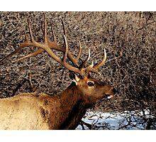 Bull Elk - Watercolor Photographic Print