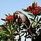 Wattle Bird on Waratah by AnnabelHC