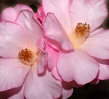 Camellia Double by Bonnie T.  Barry