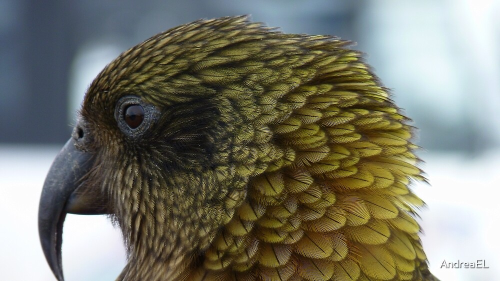 Proflie of a Kea! - Remarkables - Queenstown - New Zealand by AndreaEL