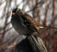 White-Crowned Sparrow - Logan, Utah by Ryan Houston