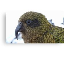 This is no laughing matter!  Kea - Queenstown - New Zealand Canvas Print
