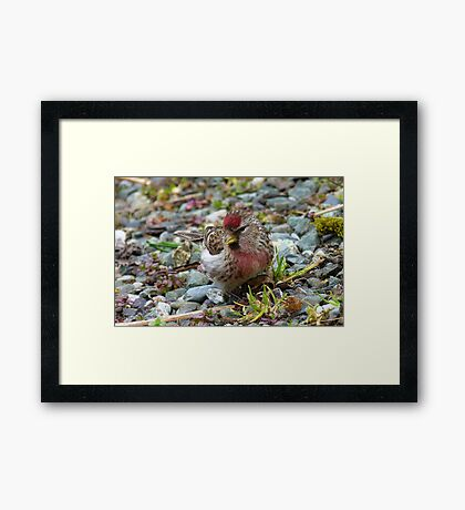 I am a pretty girl! - Redpoll - Southland - New Zealand Framed Print